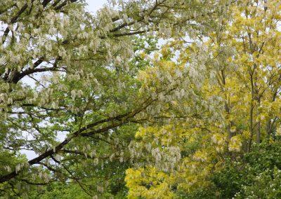 Acacias en fleurs