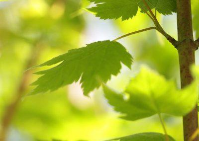 Acer babinerve = érable babinerve