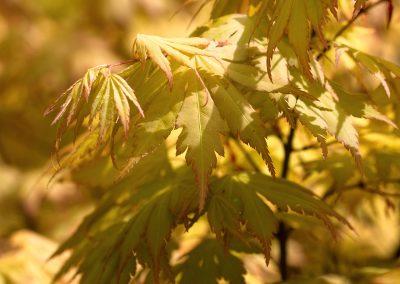 """acer palmatum """" orange dream """" = érable du japon"""
