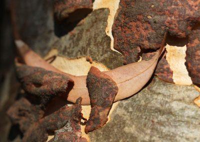 Eucalyptus mannifera ver. maculosa
