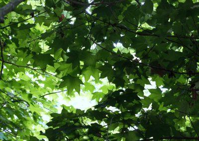 Feuilles d'été , arbres en été