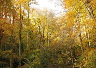 Forêt de hêtres, automne