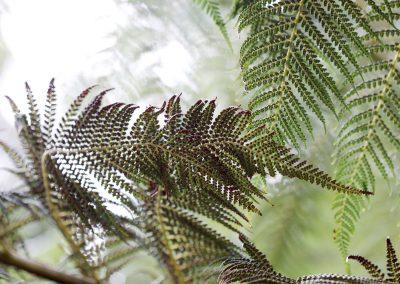Fougère arborescente , dicksonia