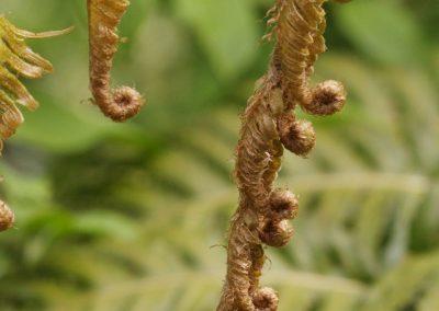 Fougère woodwardia