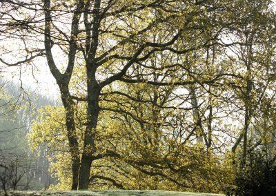 Hêtre au printemps