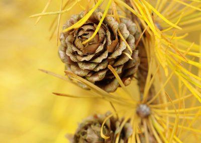 Larix leptolepsis = mélèze , automne