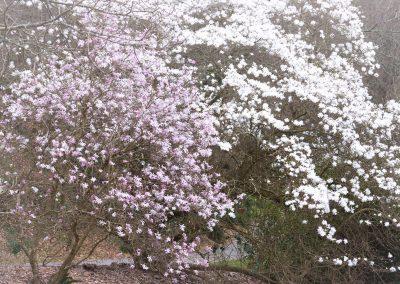 magnolias en fleurs ( stellata )