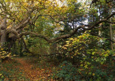 Platane d'orient - automne