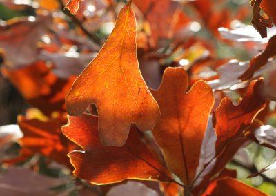 Quercus marilandica   =  quecus nigra