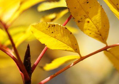 Sorbus pohuashanensis en automne