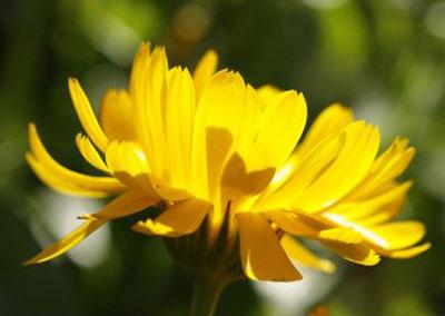 Souci = calendula officinalis