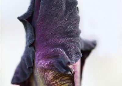Bouton d'iris