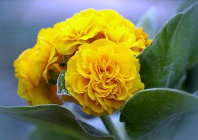 """Primula auricula """"Sunshine"""""""
