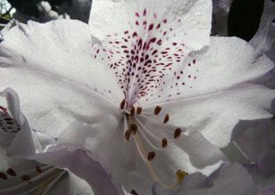 "Rhododendron ""Annaé"""