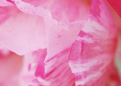 "Rose ""scentimental"""